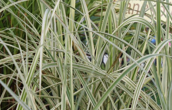Grass, Japanese Silver 'Variegated'