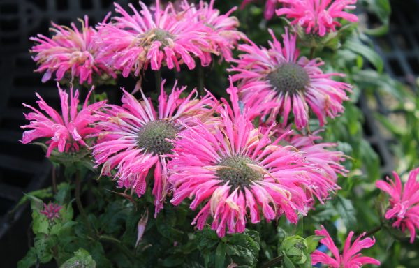 Bee Balm 'Electric Neon Pink' – (New For 2018)