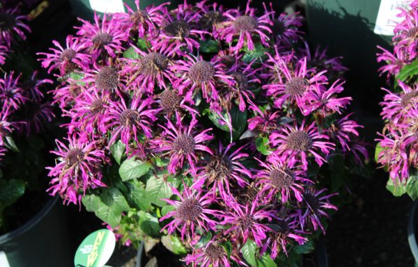 Bee Balm, Sugar Buzz® 'Rockin Raspberry'