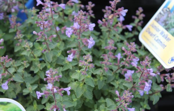 Catmint 'Kitten Around'