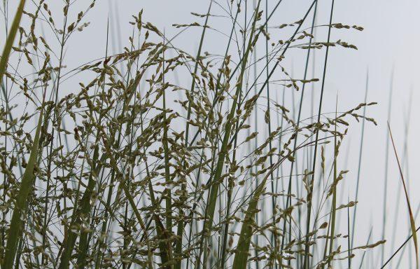 Grass, Switch 'Northwind'