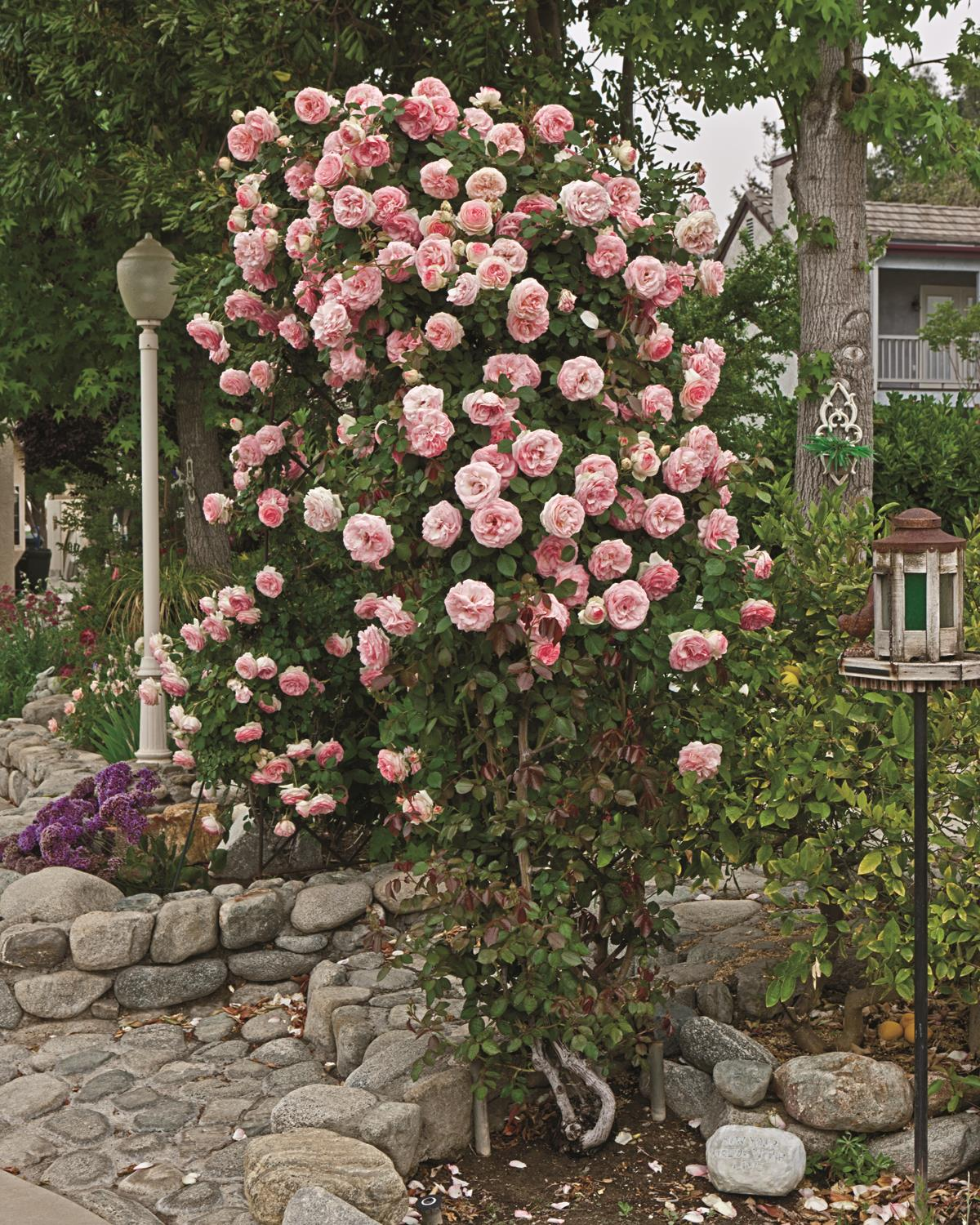 Rose \'Pearly Gates\' – Wilson\'s Garden Center
