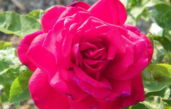 Rose 'Chrysler Imperial'