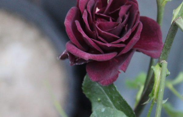 Rose 'Ebb Tide'™