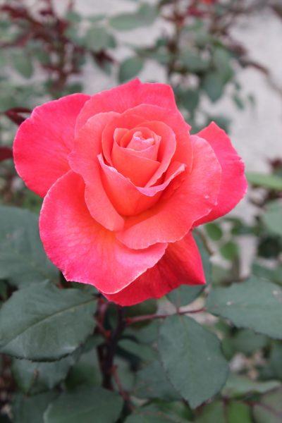 Hybrid Tea Roses Page 2 Wilson 39 S Garden Center
