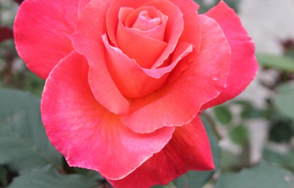Rose 'Sedona'®