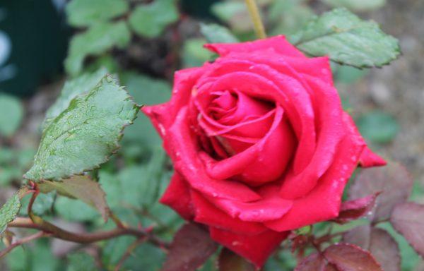 Rose 'Veterans Honor'