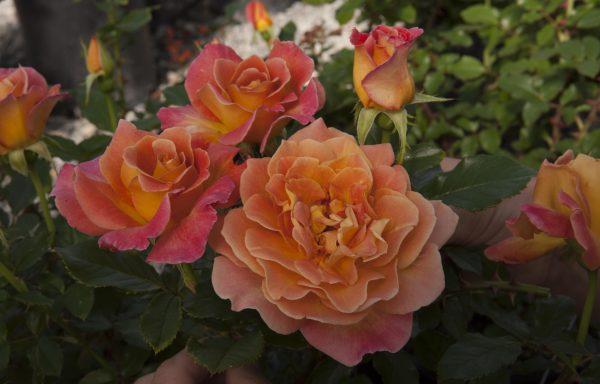 Rose Sugar Moon Wilson 39 S Garden Center