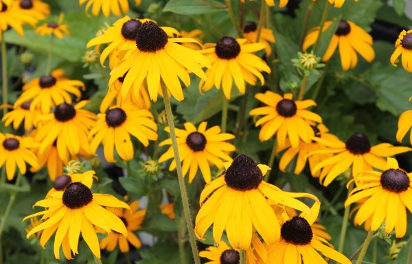 Black Eyed Susan 'Goldsturm'
