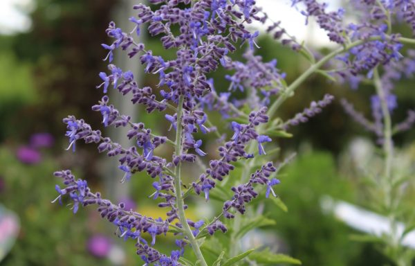 Russian Sage 'Crazy Blue'