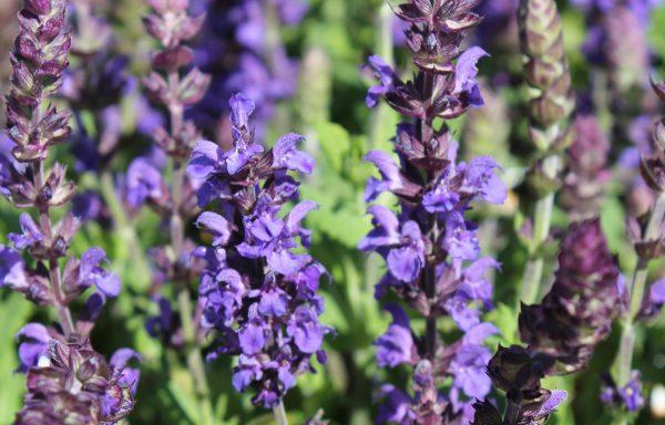 Salvia, New Dimension 'Blue'