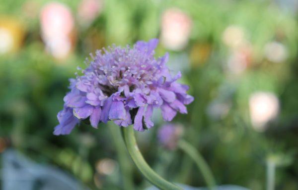 Pincushion Flower 'Butterfly Blue'