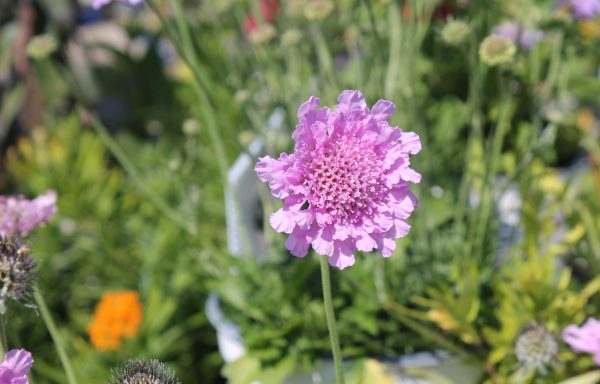 Pincushion Flower, Flutter™ 'Deep Blue'