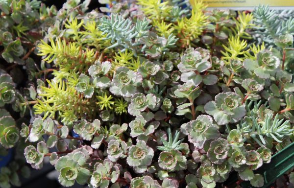 Sedum 'Trailing Trio'™