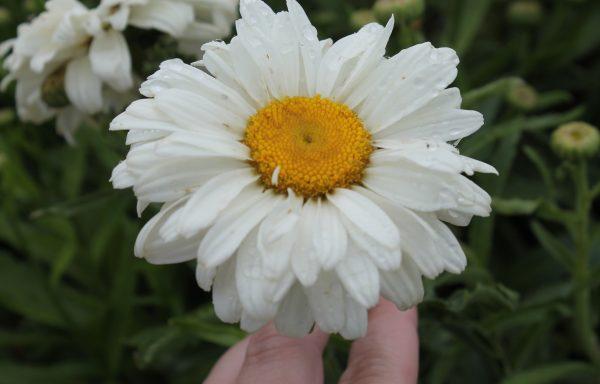 Shasta Daisy 'Whoops-A-Daisy'