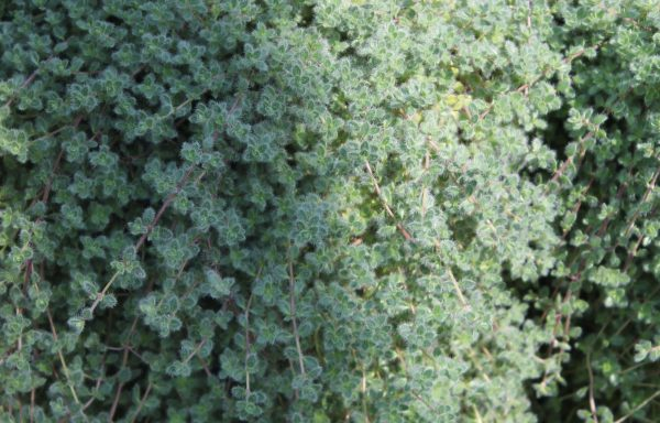 Thyme 'Woolly Mother'