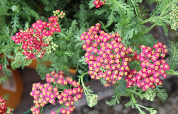 Yarrow, New Vintage 'Red'