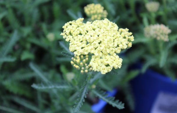 Yarrow 'Sunny Seduction'
