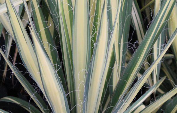 Yucca 'Color Guard'