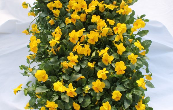 Viola, Sorbet XP 'Yellow'