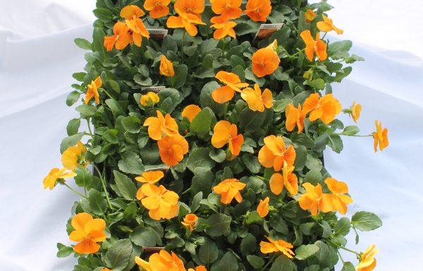 Viola, Sorbet XP 'Orange'