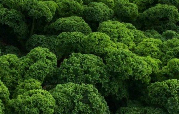 Kale 'Prizm' (AAS Winner)
