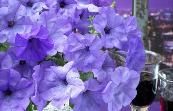 Petunia 'Evening Scentsation' – (AAS Winner)