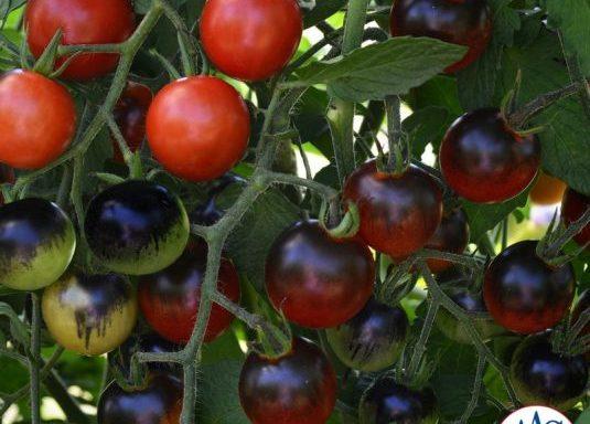 Tomato 'Midnight Snack' (F1) (AAS Winner)