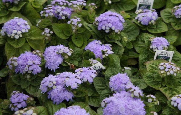 Ageratum 'Hawaii 5.0 Blue'