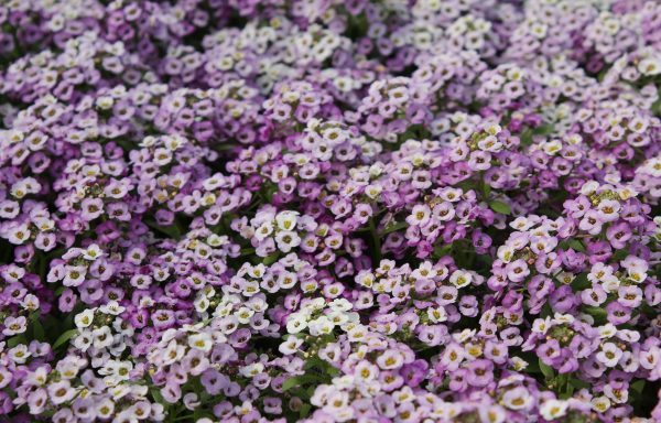 Alyssum, Clear Crystal 'Lavender Shades'