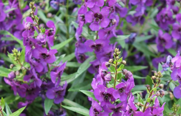 Angelonia, Archangel 'Dark Purple'