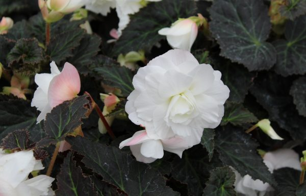 Begonia, Nonstop 'Joy Mocca White'