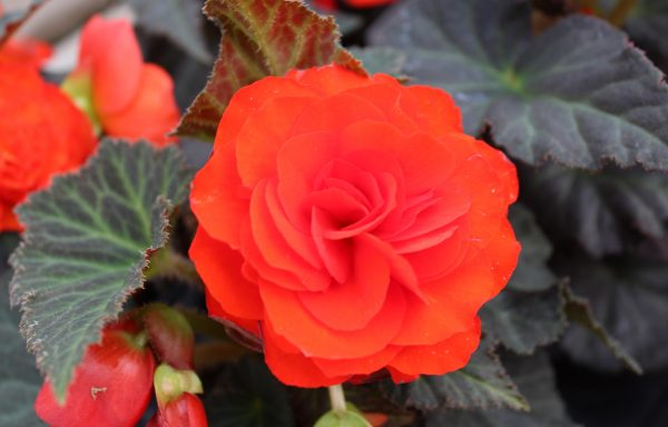 Begonia, Nonstop 'Mocca Deep Orange'