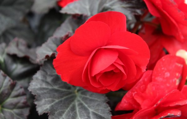 Begonia, Nonstop 'Mocca Red'