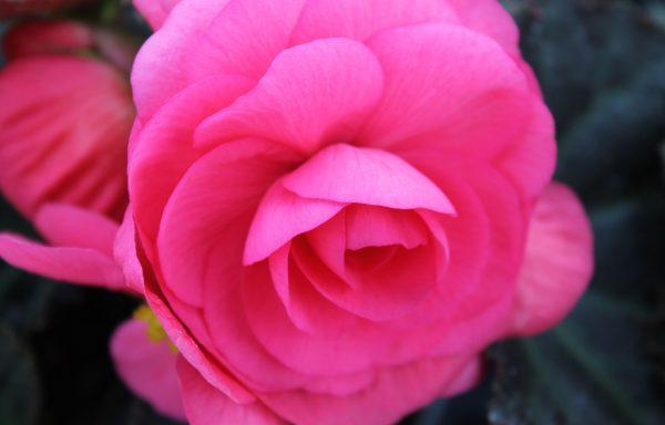 Begonia, Nonstop 'Mocca Pink Shades'