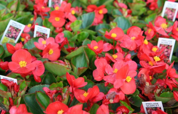 Begonia, Prelude 'Scarlet'
