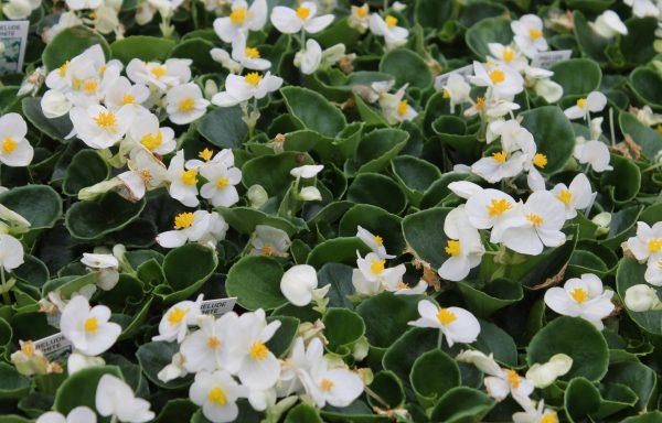 Begonia, Prelude 'White'