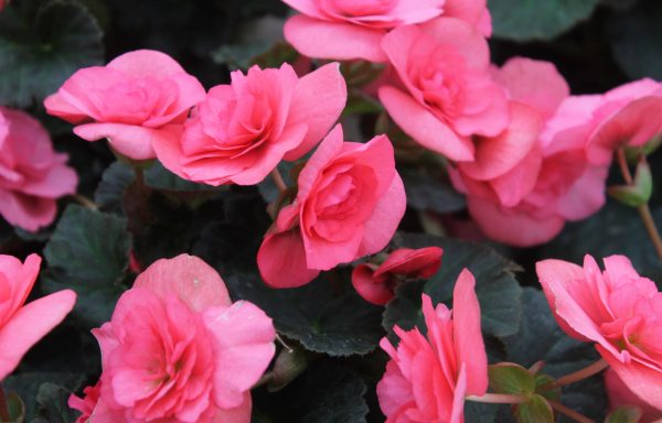 Begonia, Solenia 'Light Pink'