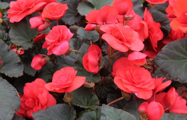 Begonia, Solenia 'Improved Red'