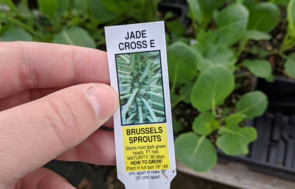 Brussels Sprouts 'Jade Cross E'