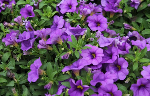 Calibrachoa, Calipetite 'Mid Blue'