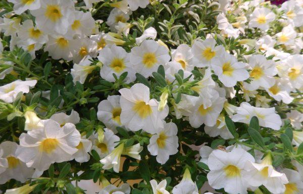 Calibrachoa, Minifamous Neo 'White W/ Yellow Eye'