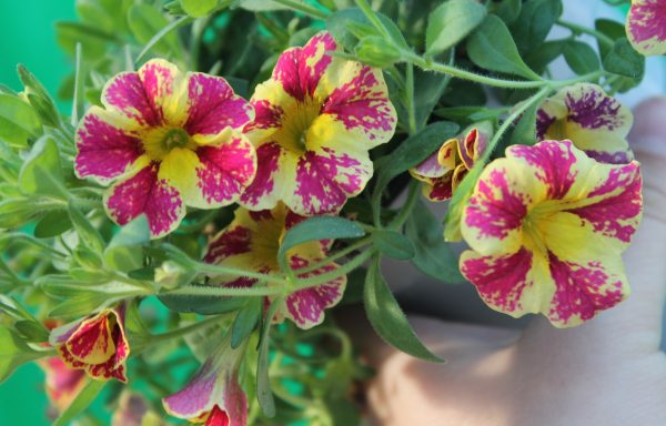 Calibrachoa, Superbells 'Holy Moly'