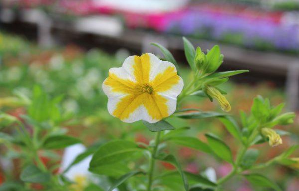 Calibrachoa, Superbells 'Lemon Slice'
