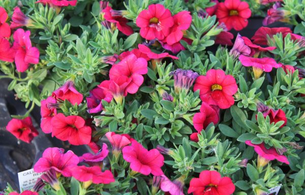 Calibrachoa, Calipetite 'Red'