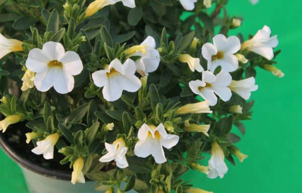 Calibrachoa, Calipetite 'White'