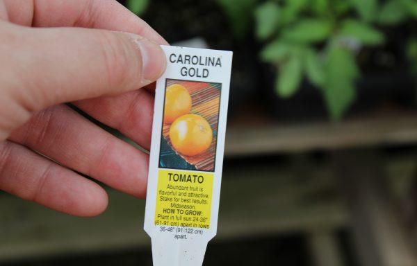 Tomato 'Carolina Gold' (F1)