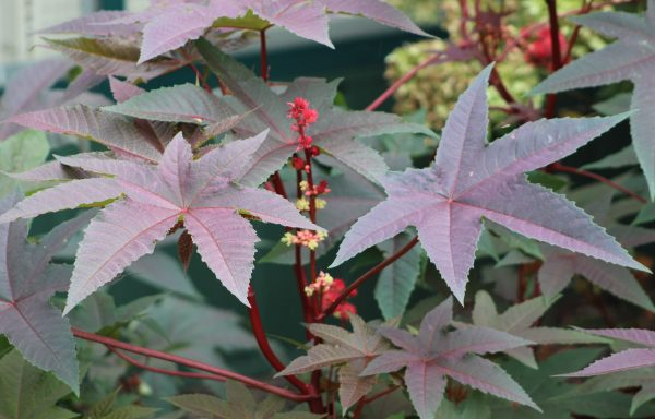 Castor Bean 'Carmencita Bright Red'