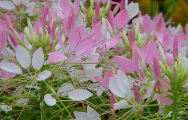 Cleome 'Sparkler Rose'