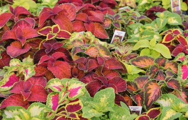 Coleus, Wizard 'Mix'